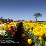An afternoon at the tulip farm